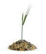 Getreideähre wächst aus einem Häufchen Saatgut