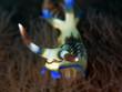 Sternschnecke (Nembrotha lineolata)