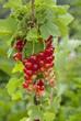 groseillier, Ribes grossularia