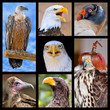 Seven mosaic photos birds of prey
