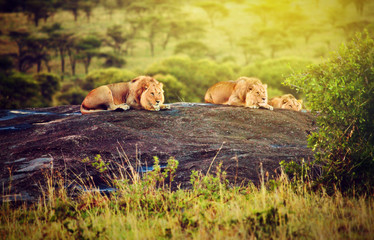 Lions on rocks on savanna at sunset. Safari in Serengeti, Africa