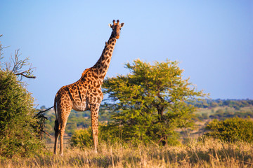 Giraffe on savanna. Safari in Serengeti, Tanzania, Africa