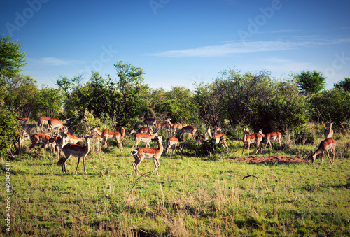Impala's herd on savanna in Africa. Safari in Serengeti