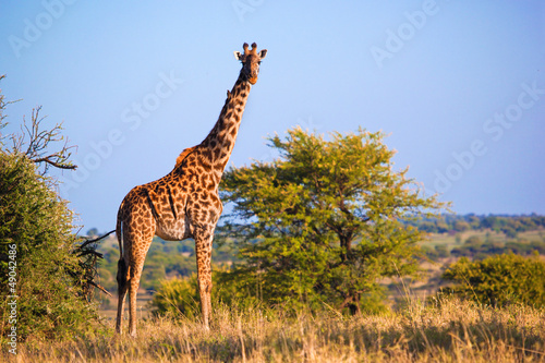Plexiglas Giraffe Giraffe on savanna. Safari in Serengeti, Tanzania, Africa