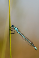 A blue dragonfly on brown background