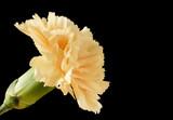 Fototapeta krem - kwitnąć - Kwiat