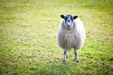 Close up of Sheep