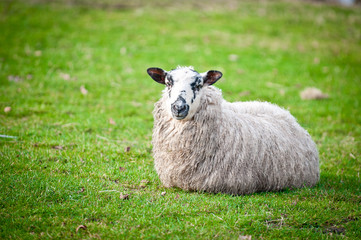 Sheep lying down on a field