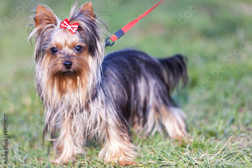 adorable yorkshire terrier on a leash