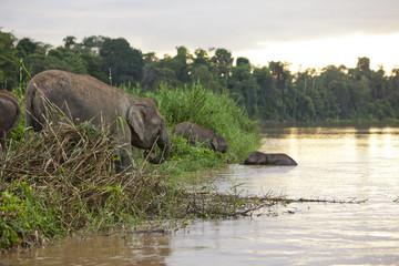 Pygmy elephants on the Kinabatangan River, Sabah.