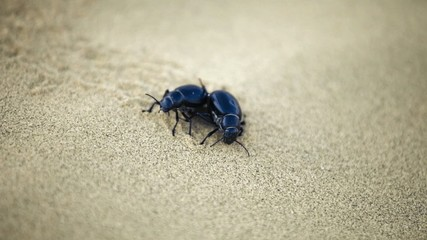 Scarab beetles copulating in the Indian desert