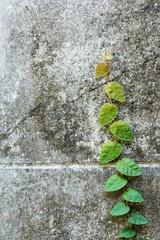 Climbing Fig