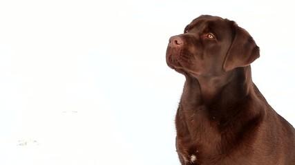 Barking labrador
