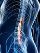 3d rendered illustration of the spinal cord.