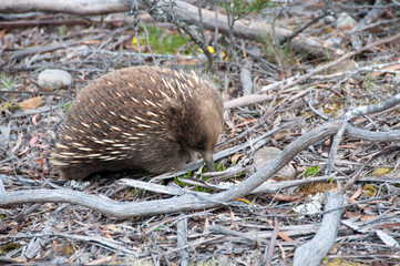 Echidna looking for food