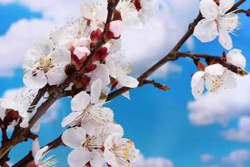 beautiful apricot blossom on blue sky background.