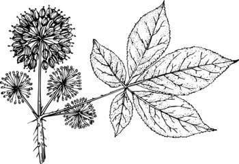 Branch of plant eleutherococcus