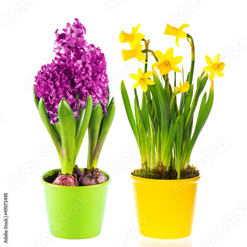 Plexiglas Narcis beautiful spring narcissus and hyacinth flowers in pot
