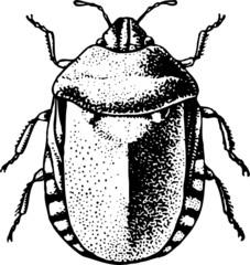 Bedbug (Eurygaster integriceps)