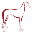 Vector image of an dog (azawakh) on white background