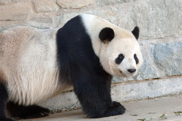 Giant panda  in National Zoo, Washington, DC