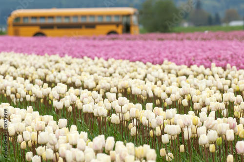 Tulip fields in Skagit valley, Washington