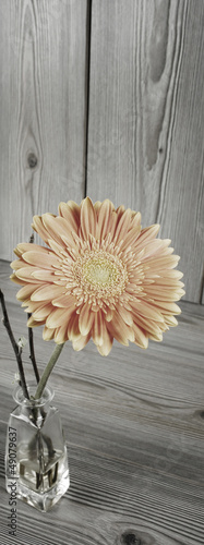 Beautiful orange gerbera