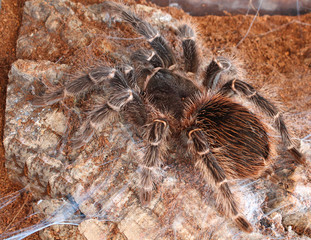 Brazilian Salmon Pink Bird Eating Tarantula