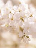 Im Weiß der Kirschblüten