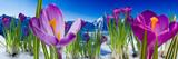 Fototapety Springtime in mountains - crocus flowers in snow