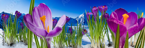 Foto op Plexiglas Krokussen Springtime in mountains - crocus flowers in snow