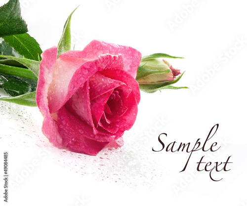 Red rose isolated on white background, closeup