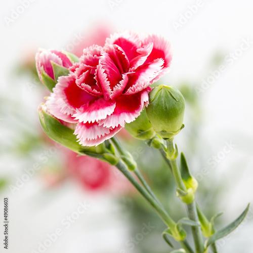 Foto op Plexiglas Magnolia Carnation