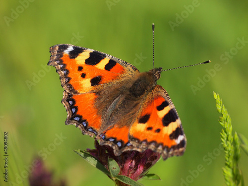 Small Tortoiseshell with green background