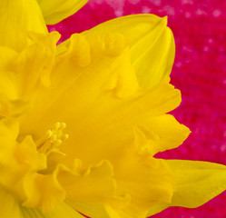 Yellow daffodil flower on pink defocused background