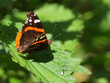 Admiral butterfly resting on nettle