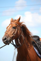 Chestnut horse portrait with bridle