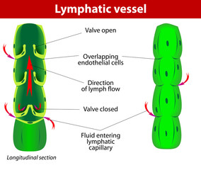 lymphatic vessel