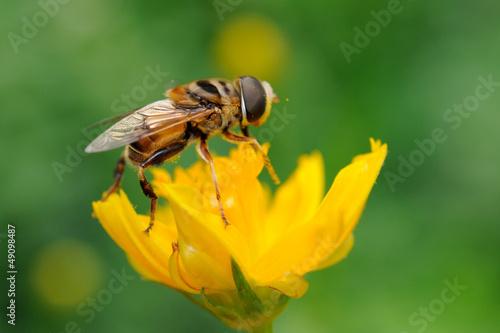 Sirfido - (syrphidae)