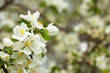 apple tree branch with flowers against blur background