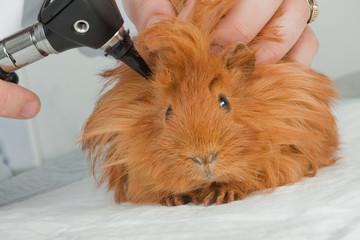 Veterinarian examining guinea pig