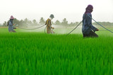 farmer spray pesticide on the rice field poster