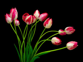 tulips isolated on black background