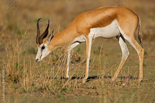 Springbok walking in grass-field; Antidorcas marsupialis