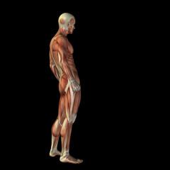 High resolution conceptual 3D human for anatomy