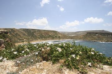 Caper flowers and Ghajn Tuffieha Bay