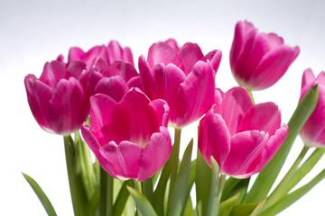 rosa Tulpenblüten
