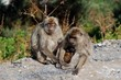 Family of Barbary Apes, Gibraltar © Arena Photo UK