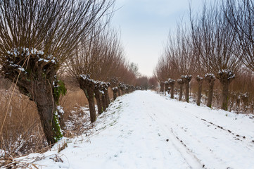 Row of pollard willows in a snowy area