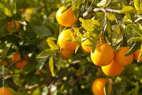 Fototapeten,orange,mandarins,baum,obst